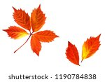autumn colors leaves  deep red  ... | Shutterstock . vector #1190784838