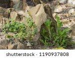 plants on the stony slope.... | Shutterstock . vector #1190937808