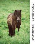 single icelandic chestnut horse ...   Shutterstock . vector #1190999212