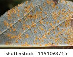 poplar rust caused by... | Shutterstock . vector #1191063715
