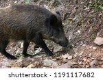 wild boar  sus scrofa  digs... | Shutterstock . vector #1191117682