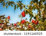 fruits of healing rosehip on a... | Shutterstock . vector #1191160525