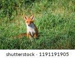 beautiful red fox  vulpes... | Shutterstock . vector #1191191905