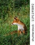 beautiful red fox  vulpes... | Shutterstock . vector #1191195892