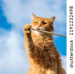 Stock photo adult red cat playing with a stick close up 1191232498