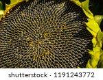 ripe sunflower. beautiful... | Shutterstock . vector #1191243772