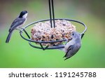 Tufted Titmouse And Black...