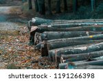 felled trees in a forest close... | Shutterstock . vector #1191266398