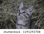 Stock photo gray kitten against the background of hay 1191292708