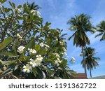 plumeria and frangipani or...   Shutterstock . vector #1191362722