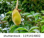african baobab fruit or monkey... | Shutterstock . vector #1191414802