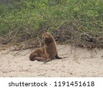baby seal on the beach in... | Shutterstock . vector #1191451618