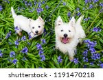 dogs in spring flowers  west... | Shutterstock . vector #1191470218