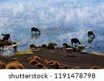 beautiful herd of alpacas... | Shutterstock . vector #1191478798