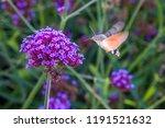 "Butterfly ""hummingbird"" Is A..."