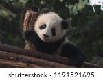 tiny cute panda playing on a... | Shutterstock . vector #1191521695
