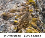 a rock ptarmigan with its... | Shutterstock . vector #1191552865