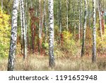 beautiful birch trees with... | Shutterstock . vector #1191652948