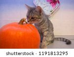 Stock photo a gray kitten is going to celebrate halloween the kitten sniffs a pumpkin a cozy photo to 1191813295