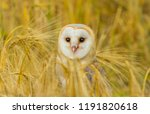 Stock photo barn owl beautiful white owl with heart shaped facial disc stood in a field of golden corn 1191820618