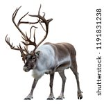 Stock photo reindeer with huge antlers isolated on the white background front view 1191831238