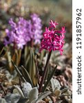 soft focus image of hyacinth...   Shutterstock . vector #1191857962