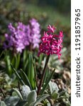 soft focus image of hyacinth...   Shutterstock . vector #1191857965