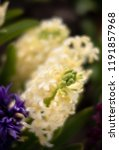 soft focus image of hyacinth...   Shutterstock . vector #1191857968