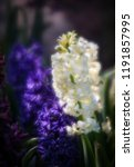 soft focus image of hyacinth...   Shutterstock . vector #1191857995