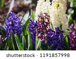 soft focus image of hyacinth...   Shutterstock . vector #1191857998