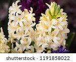 soft focus image of hyacinth...   Shutterstock . vector #1191858022