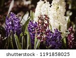 soft focus image of hyacinth...   Shutterstock . vector #1191858025