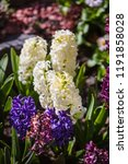 soft focus image of hyacinth...   Shutterstock . vector #1191858028