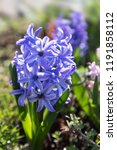 soft focus image of hyacinth...   Shutterstock . vector #1191858112