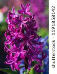 soft focus image of hyacinth...   Shutterstock . vector #1191858142