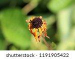 black eyed susan or rudbeckia... | Shutterstock . vector #1191905422