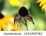 black eyed susan or rudbeckia... | Shutterstock . vector #1191905782