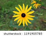 black eyed susan or rudbeckia... | Shutterstock . vector #1191905785