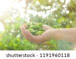 bitter gourd fruits in hand... | Shutterstock . vector #1191960118