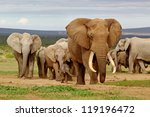 an elephant herd  led by a... | Shutterstock . vector #119196472