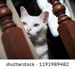 Small photo of Pure White Cat with odd eyes , Khao Manee cat, Diamond Eye cat , This is rare cat breeds and very cute in Thailand.