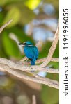 bird  collared kingfisher ... | Shutterstock . vector #1191996055