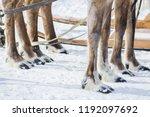 shaggy legs with hoofs of taiga ... | Shutterstock . vector #1192097692