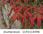 Red Berries Of Cotoneaster...