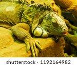 iguana  herbivorous lizards  | Shutterstock . vector #1192164982