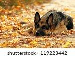 Dog  German Shepherd Lies In...