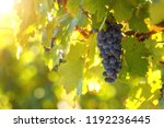 bunch of ripe blue grapes with... | Shutterstock . vector #1192236445