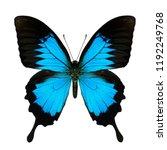 Papilio Ulysses  Blue Emperor...