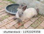 rabbit female in thailand. | Shutterstock . vector #1192329358