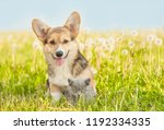 Stock photo pembroke welsh corgi puppy sitting with kitten on a summer grass empty space for text 1192334335